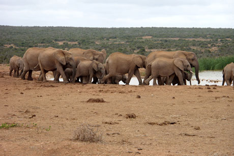 Addo Park Elephants